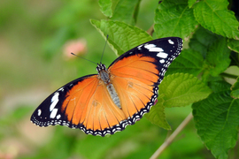 butterfly, butterfly photos, india butterflies, India wildlife, India insects, Hyderabad, striped tiger butterfly, striped tiger butterfly photos