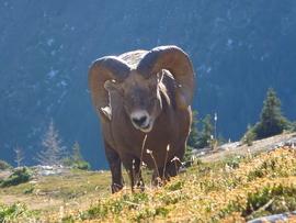 big horn sheep, Kananskis Park, big horn sheep photos, big horn sheep images, Kananskis Park wildlife photos, Canada wildlife, Canada wildlife photos