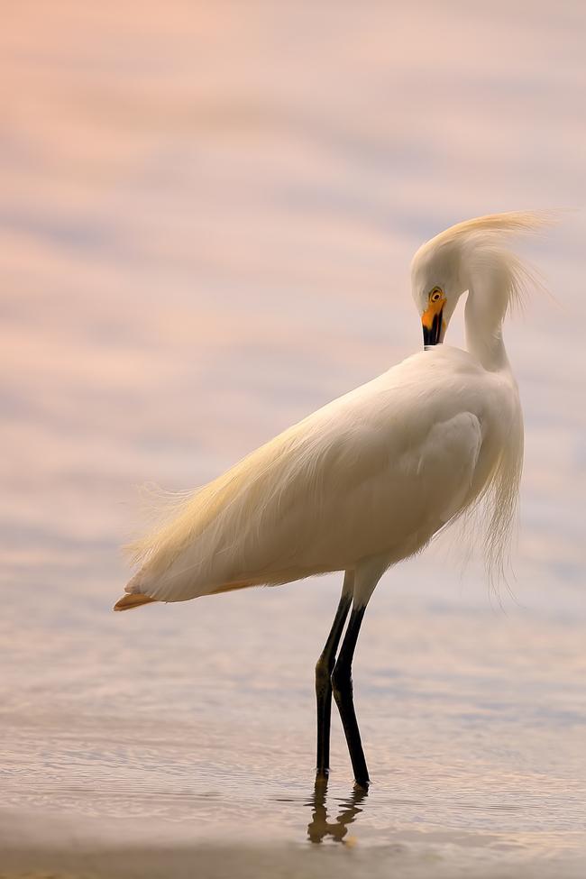 snowy egret, snowy egret photos, snowy egrets in Florida, Florida birds, birding in Florida, white birds in Florida, Florida birding, Lake Jessup, Florida wildlife