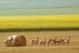 pronghorn antelope, pronghorn antelope photos, antelope, antelope photos, Canada wildlife, antelope in Canada