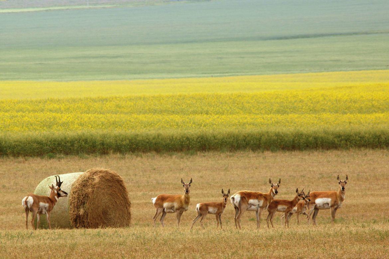 pronghorn antelope, pronghorn antelope photos, antelope, antelope photos, Canada wildlife, antelope in Canada