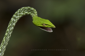 snake, snake photos, green vine snake, green vine snake photos, India snakes, snakes in India, India wildlife, Agumbe, Western Ghats