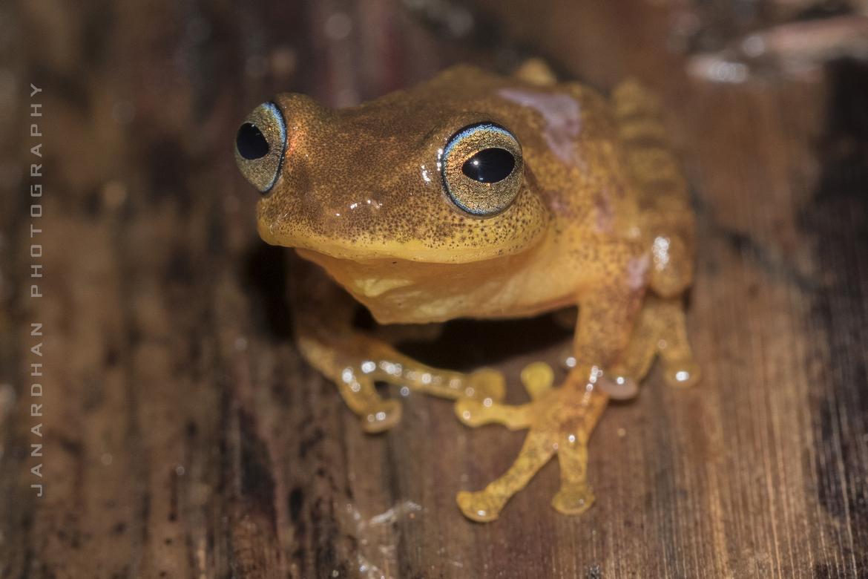 Blue-eyed bush frog, Blue-eyed bush frog photos, frogs in India, India amphibians, Western Ghats