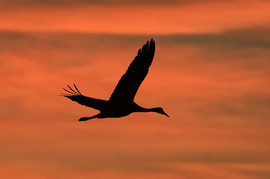 Sandhill Crane, Sandhill Crane photos, sunset, sunset photos, Sandhill Crane photos at sunset, Sandhill Crane, Sandhill Cranes in New Mexico, Sandhill Cranes in United States