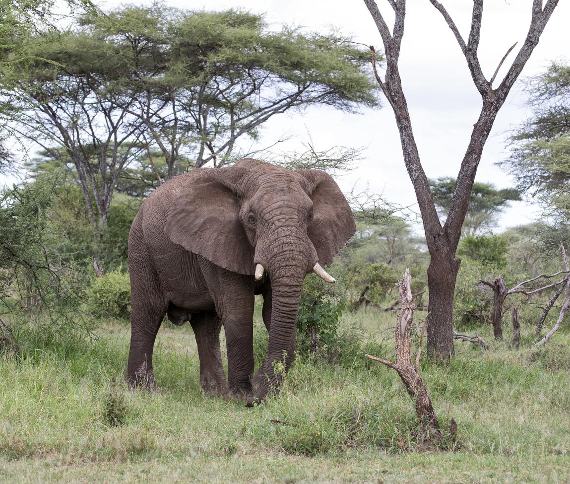 elephant, african bush elephant, elephant photos, african bush elephant photos, Tanzania wildlife, Tanzania wildlife photos, africa wildlife photos, africa wildlife, african safari photos, Serengeti National Park wildlife, Serengeti wildlife photos