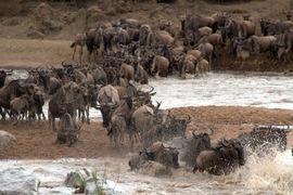 wildebeest, wildebeest photos, wildebeest migration, Tanzania migration, Tanzania wildlife, Africa migration, North Serengeti National Park, Serengeti wildlife