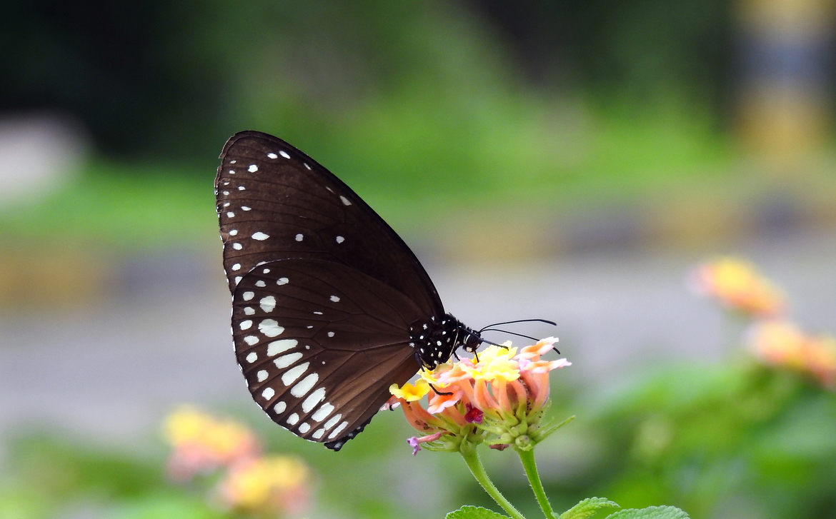 Common Crow Butterfly, Common Crow Butterfly photos, India butterflies, butterflies in India, India wildlife