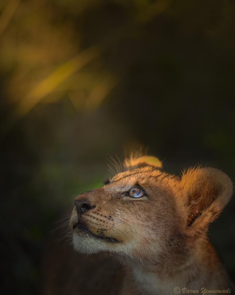 lion, lion photos, South Africa wildlife, South Africa wildlife photos, africa wildlife, africa wildlife photos, lions in South Africa, South African safari, South African safari photos, africa safari, africa safari photo, lion cub, lion cub photos