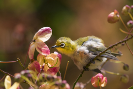 Japanese white eye, Japanese white eye photos, passerine, passerine photos, baby birds, birding, bird photos, birding in the US, birds in the US, Hawaiian birds, birding in Hawaii