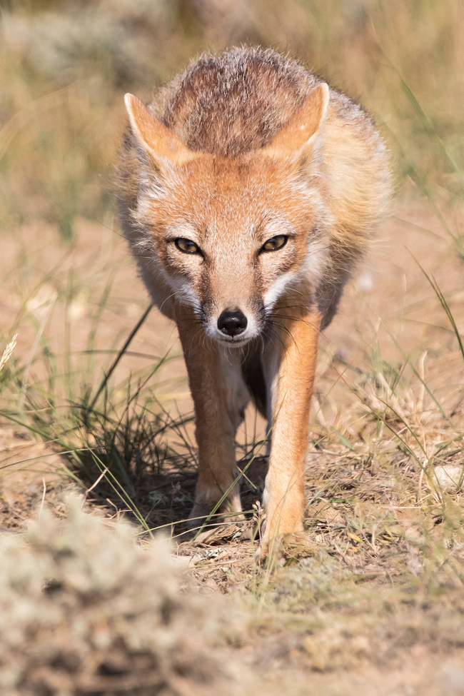 swift fox, swift fox photos, swift fox images, wildlife in the US, united states wildlife, united states wildlife photos, us wildlife photos, wildlife in Wyoming, foxes in Wyoming