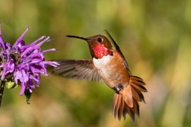 hummingbird, humming bird images, humming bird photos, united states wildlife, united states birds, american hummingbirds, Wyoming birds, Wyoming wildlife, birding in Wyoming, Wyoming birding, Rufous Hummingbird, Rufous Hummingbird photos