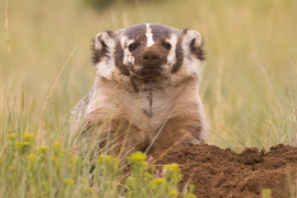 badger, badger photos, Wyoming wildlife, badgers in Wyoming, american badger, american badger photos