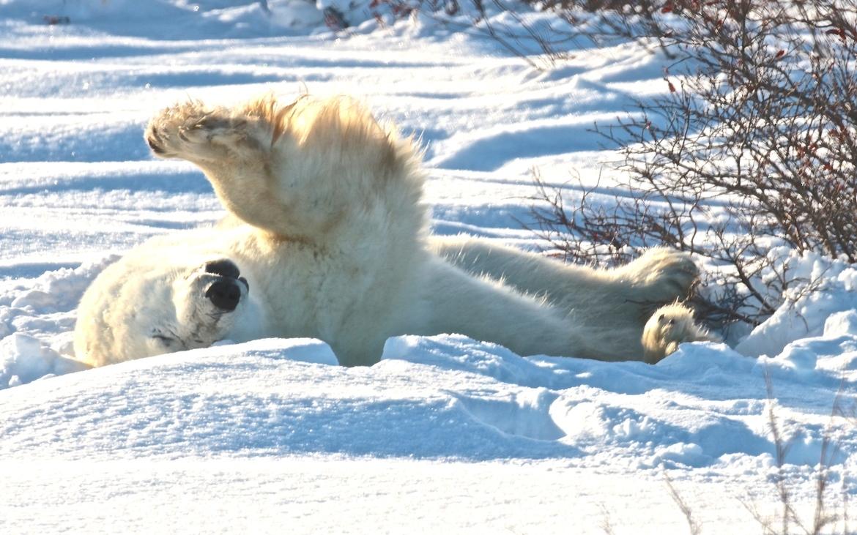 polar bear, polar bear in churchill, polar bear in canada, canada wildlife, canada polar bears, canada wildlife images, polar bear images, canada wildlife photos, polar bear photos, churchill wildlife, churchill wildlife photos