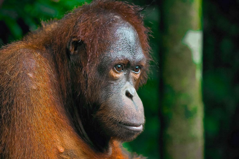orangutan, orangutan photos, Borneo wildlife, Borneo orangutan, Borneo wildlife photos, sarawak, semengohSepilok Orangutan Rehabilitation Centre, Sepilok wildlife
