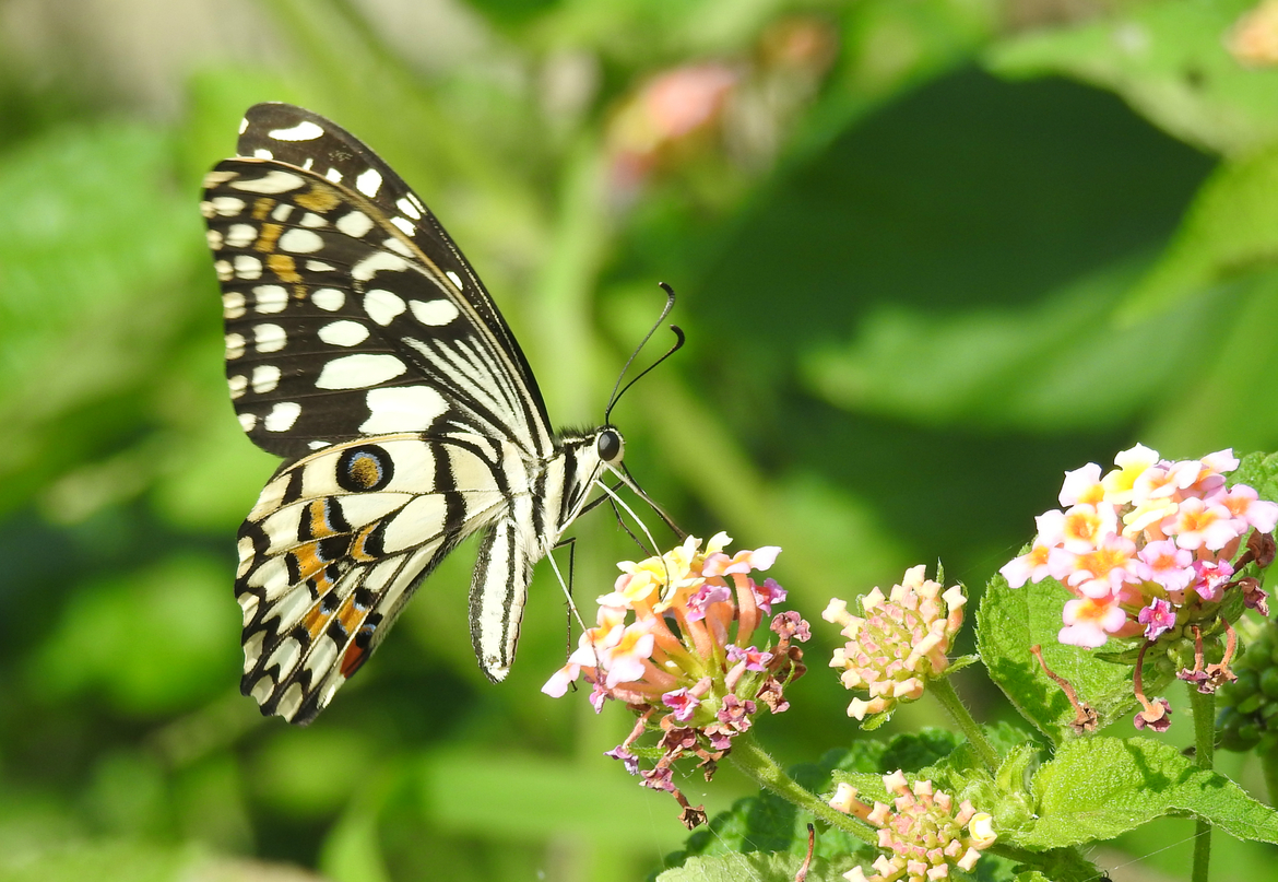 common mime butterfly, common mine butterfly photos, swallowtail butterfly, swallowtail butterfly photos, India butterflies, butterflies in India, Hyderabad, Hyderabad wildlife