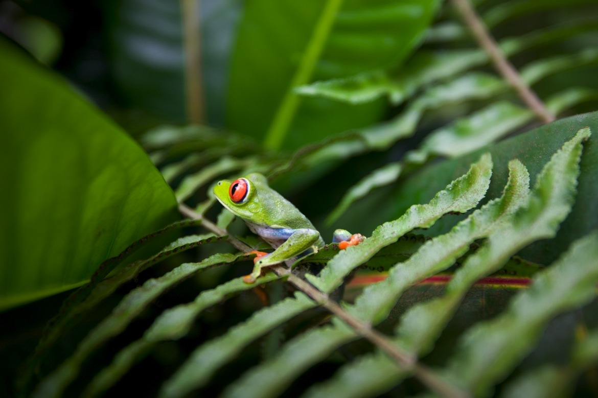 Tree frog, Costa Rica, Braulio Carillo National Park, Costa Rica photography, tree frog photography, tree frog pictures, tree frig images, Latin America photography