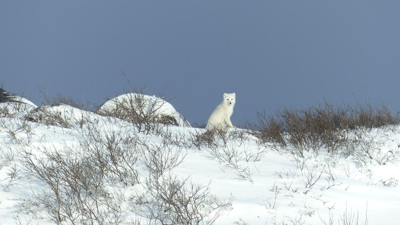 arctic fox, arctic fox photos, Churchill, Churchill wildlife, arctic fox in Churchill, Canada wildlife, arctic wildlife