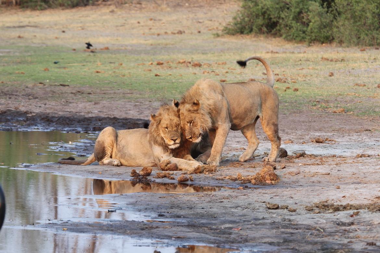 lion, lion photos, botswana wildlife, botswana wildlife photos, africa wildlife, africa wildlife photos, lions in botswana, photos of lions in botswana, botswana safari, botswana safari photos, africa safari, africa safari photo, Linyanti
