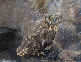 short-eared owl, short-eared owl photos, ecuador, ecuador wildlife, ecuador birds, owls in ecuador, galapagos wildlife, galapagos birds, galapagos photos, owls in galapagos, genovesa island