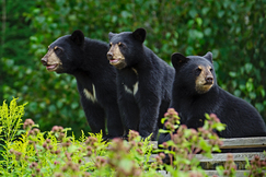 black bear, black bear photos, bears in canada, photos of bears in canada, Ontario wildlife, black bear cub, black bear cub photos