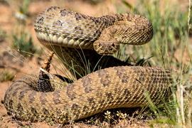 rattlesnake, rattlesnake photos, rattlesnake images, snake, snake photos, snake images, Wyoming wildlife, Wyoming wildlife photos, united states wildlife, united states wildlife photos, snakes in Wyoming, snakes in america, prairie rattlesnake