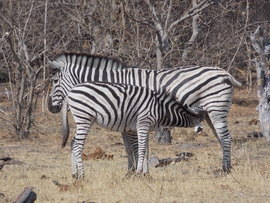 zebra, zebra images, zebra photos, Botswana wildlife, Botswana wildlife images, Botswana wildlife photos, zebras in Botswana, african safari wildlife, Botswana safari wildlife, Botswana safari wildlife photos, baby zebra, mother zebra, Linyanti wildlife