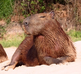 capybara, capybara photos, capybara images, capybara pictures, capybara in Brazil, capybara in the Pantanal, wildlife of the Pantanal, Pantanal wildlife, Brazil wildlife, South American wildlife