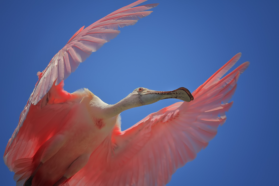 roseate spoonbill, roseate spoonbill photos, spoonbill, spoonbill photos, Titusville wildlife, united states wildlife, american wildlife, florida wildlife, florida birds, birding in Florida