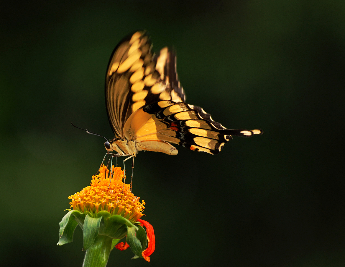 swallowtail butterfly, swallowtail butterfly photos, butterfly photos, butterflies in Florida, insects in Florida, swallowtail butterflies in Florida