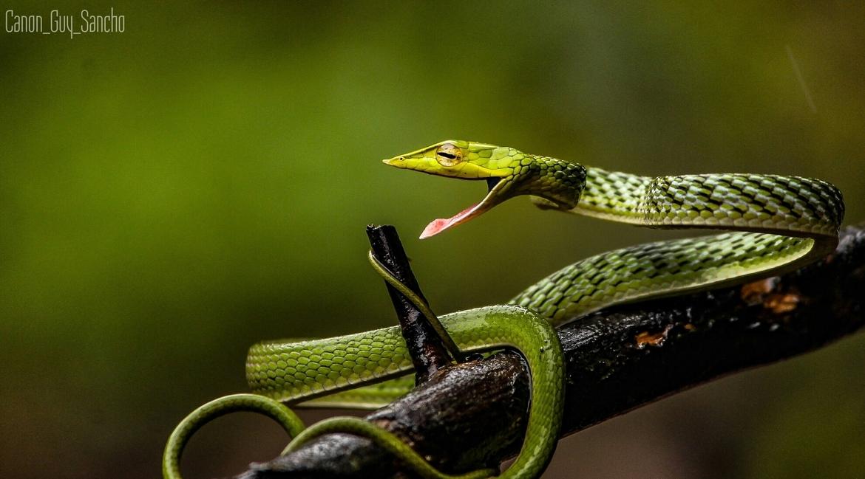 Green Vine Snake, Green Vine Snake photos, Green Vine Snake in India, snakes in India, India wildlife, Amboli