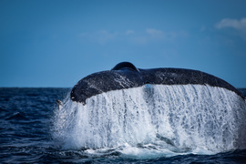 humpback whale, humpback whale photos, humpback whales in Brazil, Brazil wildlife, Brazil marine life, Brazil wildlife photos