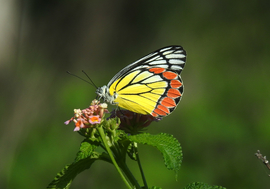 jezebel butterfly, jezebel butterfly photos, jezebel butterflies, butterflies in India, butterflies in Asia, Hyderabad, insects in India