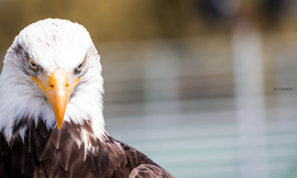 bald eagle, bald eagle photos, bald eagle images, birds in canada, bald eagles in canada, bald eagles in british columbia