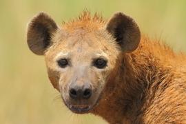 hyena, hyena photos, kenya wildlife, kenya wildlife photos, hyenas in Kenya, africa safari, kenya safari