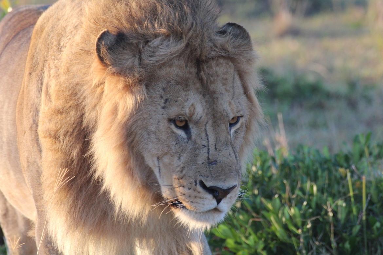 lion, lion photos, kenya wildlife, kenya wildlife photos, africa wildlife, africa wildlife photos, lions in kenya, photos of lions in kenya, kenya safari, kenya safari photos, africa safari, africa safari photo, Maasai Mara