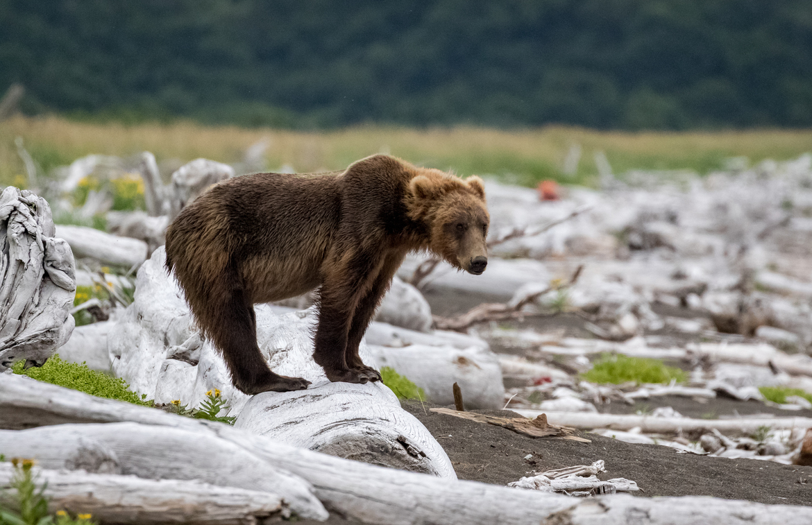 brown bear, grizzly bear, brown bear photos, grizzly bear images, Katmai National Park, Katmai National Park wildlife, united states wildlife photos, Alaska wildlife, Alaska bears, Alaska photos