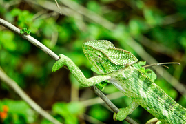 chameleon, chameleon photos, chameleons in India, India photos, India wildlife, India wildlife photos