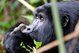 mountain gorilla, mountain gorilla photos, Bwindi Impenetrable National Park, Bwindi Impenetrable National Park wildlife, gorillas in Uganda, Uganda wildlife