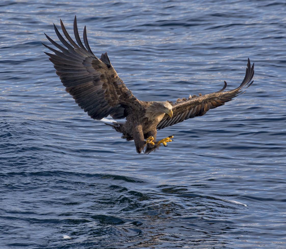 white-tailed eagle, white tailed eagle photos, eagles, eagle photos, birding in Japan, Japanese birds, eagles in Japan, Hokkaido, Hokkaido wildlife, Raushu, Raushu wildlife