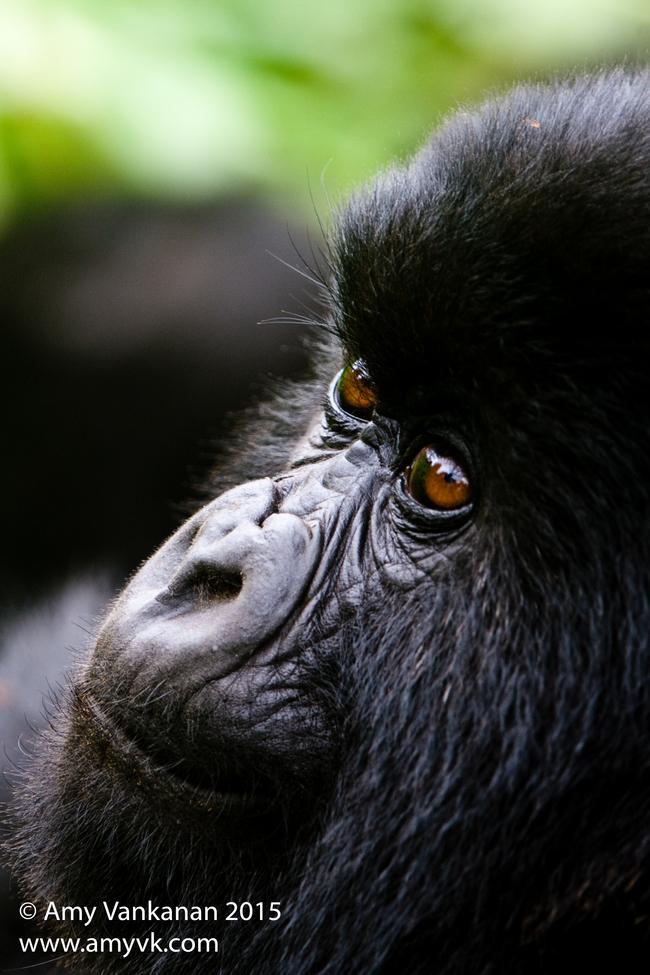 mountain gorilla, mountain gorilla photos, Volcanoes National Park, gorillas in Volcanoes Natioinal Park, Rwanda mountain gorillas, Rwanda wildlife, Volcanoes National Park wildlife