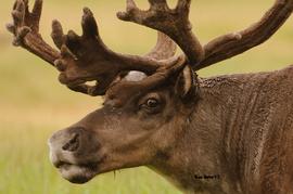 caribou, Rangifer Tarandus Reindeer, caribou photos, caribou pictures, caribou in Alaska, caribou in the US, Alaska wildlife, Alaska mammals, reindeer, reindeer photos, reindeer in alaska