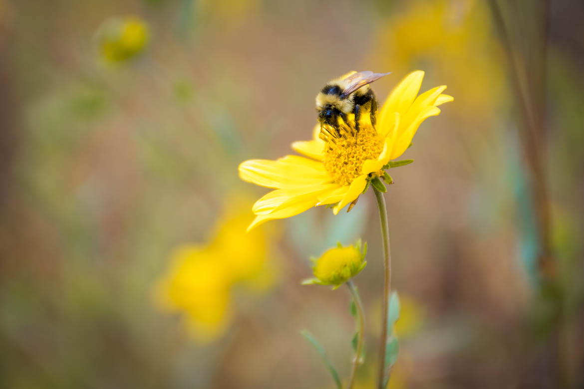 bumble bee, bumble bee photos, bees, bee photos, bees in US, US wildlife, US insects, Grand Teton National Park, Grand Teton wildlife, Grand Teton insects