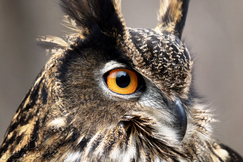 Eurasian Eagle Owl, Eurasian Eagle Owl photos, Alabama Wildlife Center, Alabama Wildlife Center photos, birding in the US, birding in Alabama