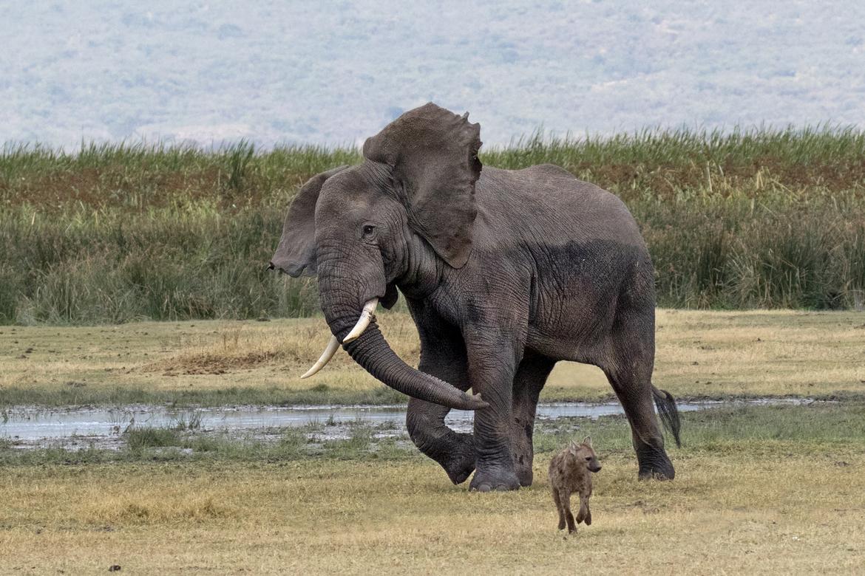 hyena, hyena photos, Tanzania wildlife, Tanzania wildlife photos, hyenas in Tanzania, africa safari, Tanzania safari, elephant, elephant photos, elephants in Tanzania, Serengeti wildlife, wildlife in the Serengeti, elephants in the Serengeti