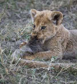 lion, lion photos, lion cub, lion cub photos, tanzania wildlife, tanzania wildlife photos, africa wildlife, africa wildlife photos, lions in tanzania, photos of lions in tanzania, tanzania safari, tanzania safari photos, serengeti, serengeti wildlife
