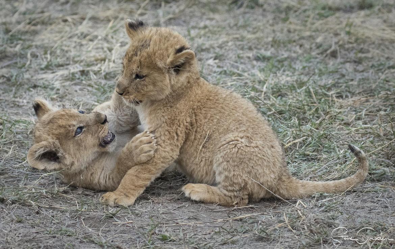 lion, lion photos, lion cubs, lion cub photos, tanzania wildlife, tanzania wildlife photos, africa wildlife, africa wildlife photos, lions in tanzania, tanzania safari, tanzania safari photos, africa safari, africa safari photo, serengeti national park