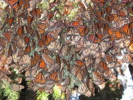 Grid mexico monarch astrid frisch
