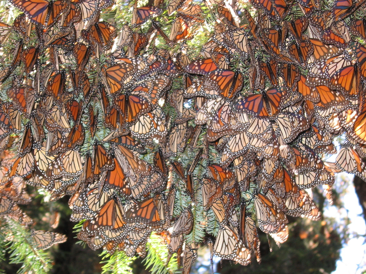 Monarch butterfly, Mexico, butterfly migration, monarch photography, el rosario