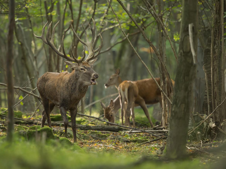 red deer, red deer photos, Slovakia wildlife, Slovakia deer, deer in Slovakia, deer in Europe, red deer in Europe