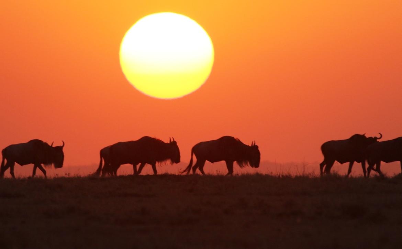 wildebeest, wildebeest photos, wildebeest migration, Kenya migration, Kenya wildlife, Africa migration, Maasai Mara, sunsets in Africa, Kenya sunsets